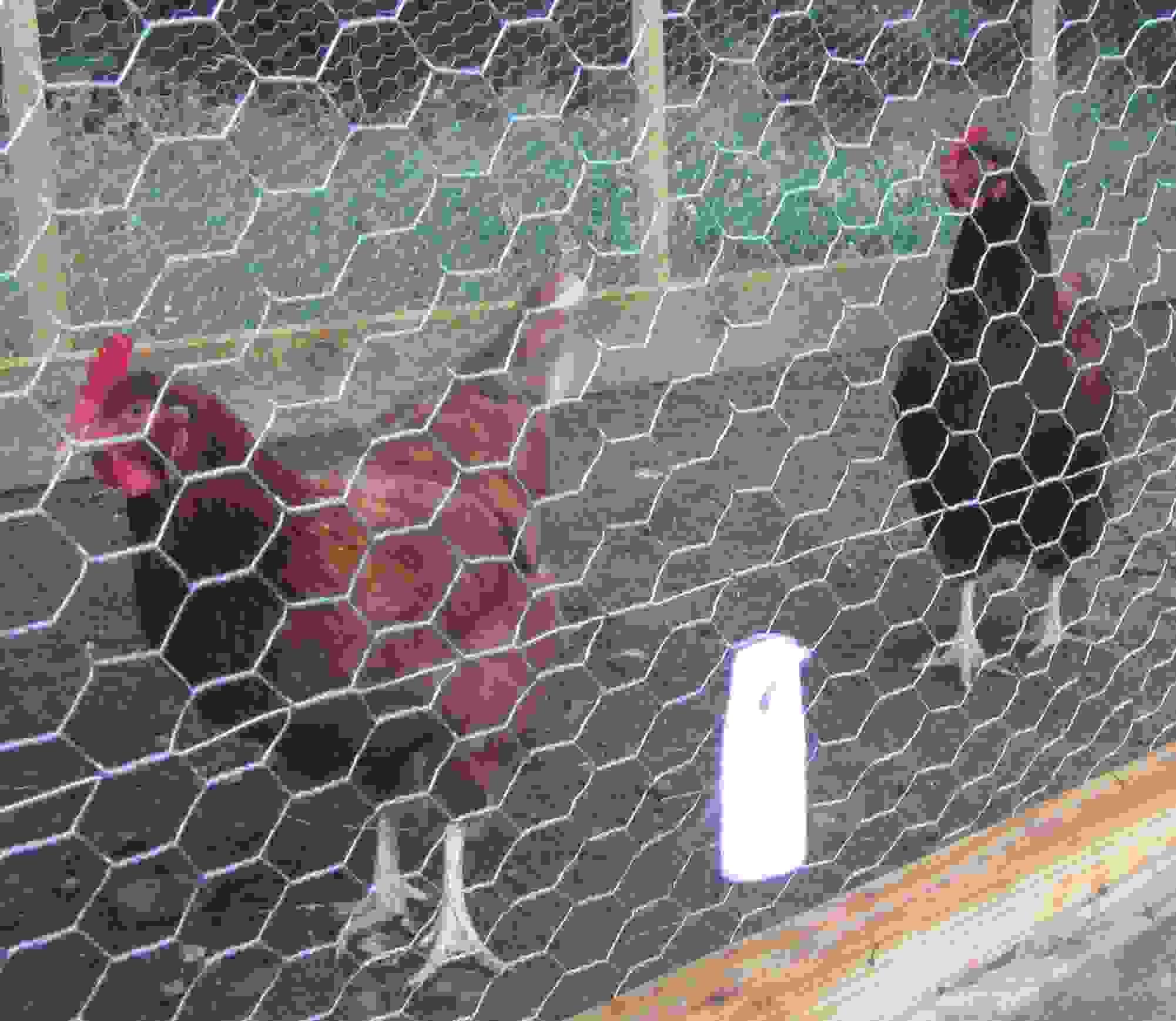 predatorpee-chicken-coop.jpg